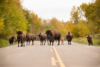 Bison Herd - Elk Island National Park